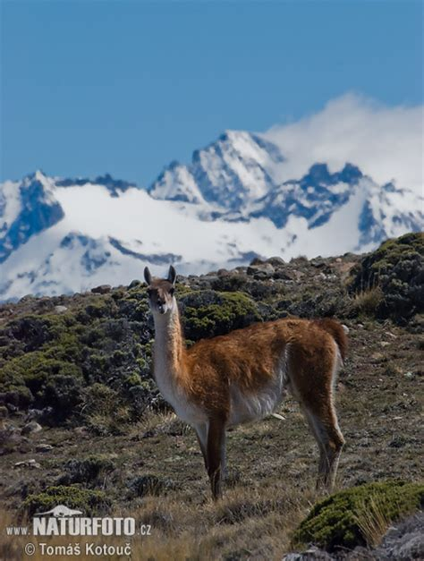 Lama guanicoe Pictures, Guanaco Images, Nature Wildlife