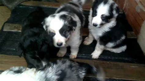 BORDER COLLIE BLUE MERLE OJOS AZULES - YouTube