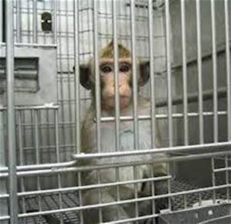 Oppose terrible monkey 'altruism' experiments: An all