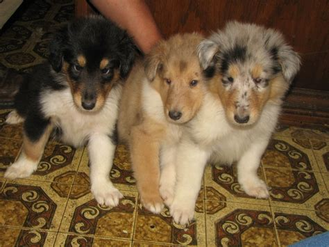Rough Collie puppies - Tri-Colour, Sable and Blue Merle