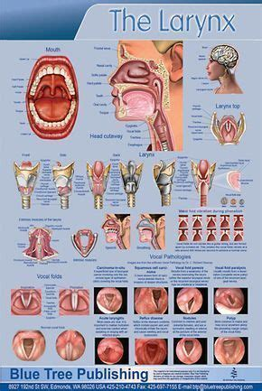 Poster about the larynx - it's function and position in