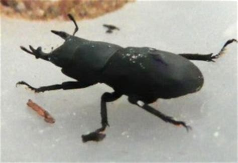 Lesser Stag Beetle from UK - What's That Bug?