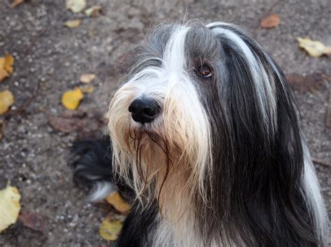 Bearded Collie | Dogs | Breed Information | Omlet