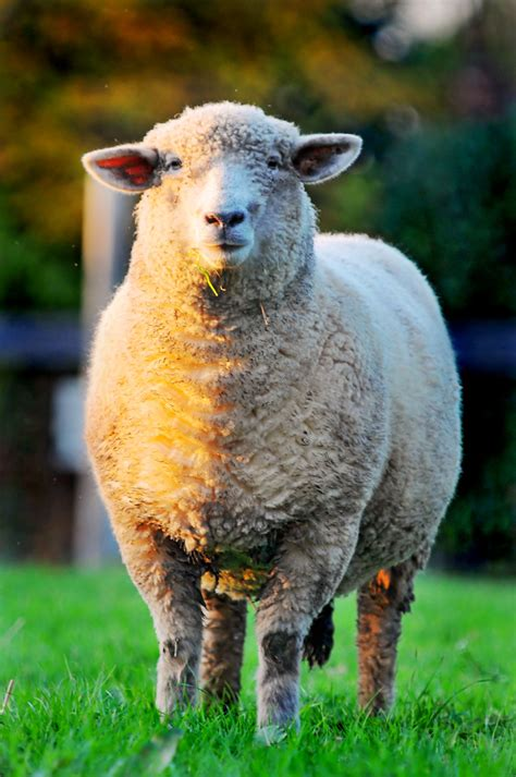 Bicolor sheep | Not a great picture (from the quality