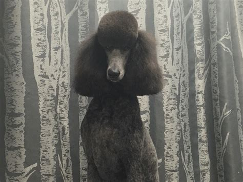 Poodle Summer Cut - Wags To Riches Dog Grooming