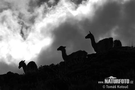 Guanaco Photos, Guanaco Images, Nature Wildlife Pictures